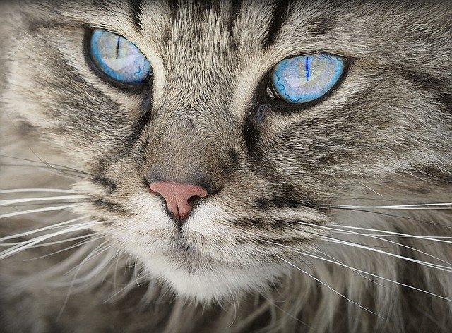 kočka s pomněnkovými očkami