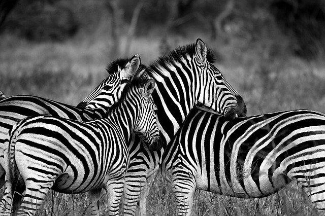 zebry v přírodě