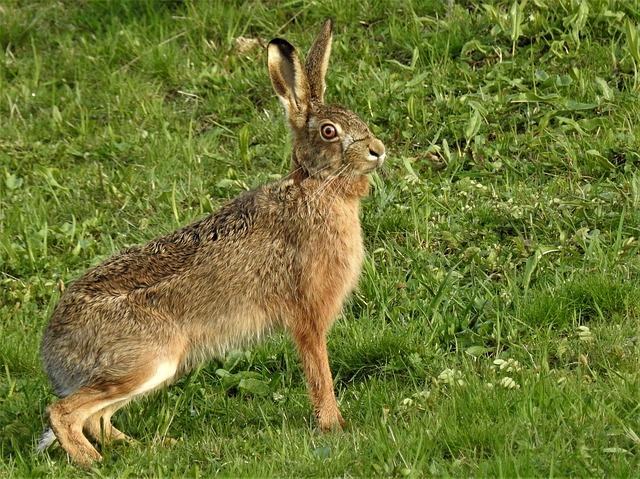 zajíc na trávě