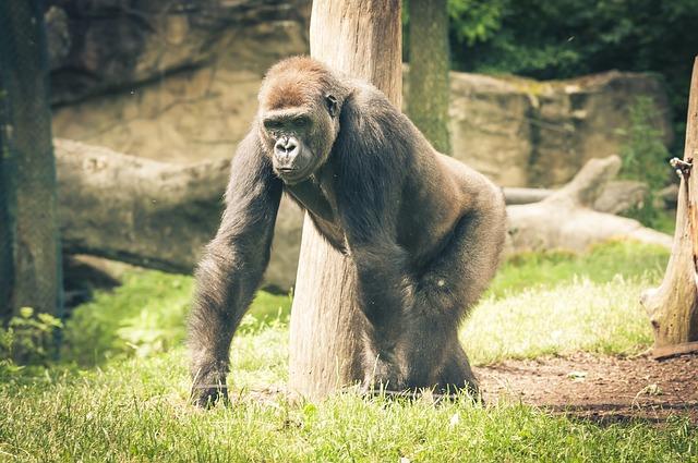 gorila velká